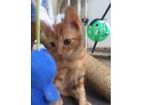 1 kitten. 8 weeks male ready now