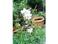 Gaura Lindheimmeri 'The Bride' hardy perennial garden plant flower