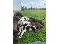 Beautiful Sprocker puppies looking for loving knowledgeable homes