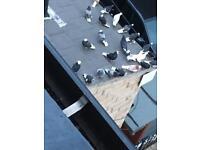 Good roller pigeons £10 07568600354
