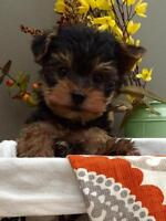 Tiny Morkie puppies ( Maltese x Yorkshire Terrier)