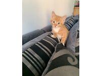 Male Kitten, 9 weeks.
