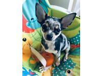 Chihuahua Merle boy