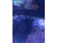 Marine Sea Urchin for sale