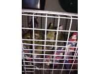 2 boy degus for sale with cage, food and assosseries,