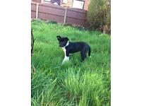Beautiful male border collie puppy