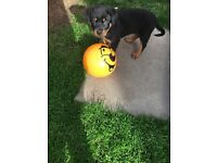 Male Rottweiler puppy for sale 7 weeks old