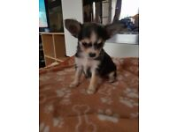 3 Chihuahua puppies girls for sale
