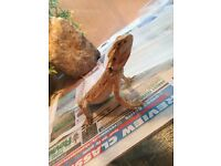 3 8 month old bearded dragons