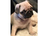 """""""""""READY NOW""""""""BEAUTIFUL PUG PUPPIES"""