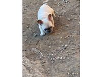 French bull dogs 5 generation pedigree kc registered ready to leave