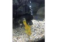 5 large goldfish free