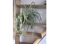 Spider Plant / Chlorophytum Comosum, 2 available