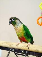 Small parrot - Yellow Sided Conure