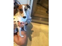 6 month old Jack Russell cross chiwawa