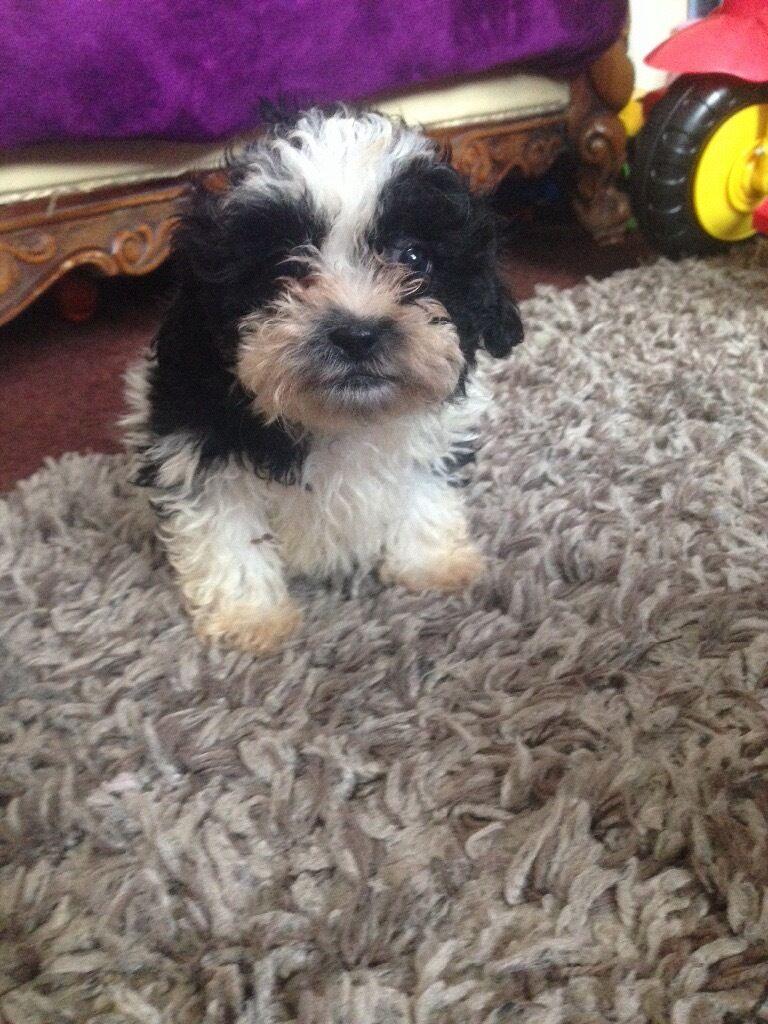 Shihtzu Cross Poodle Puppies For Sale 1 Boy Left In Dartford Kent