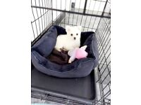 💥REDUCED DUE TO TIMEWASTERS 💥 💖 XXS POMERANIAN GIRL PUPPY 💖