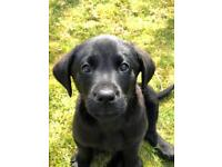 Young Labrador for rehoming