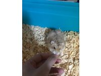 lovely dwarf hamster 9 months old can come with cage