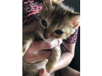 Beautiful 10 week old tabby kitten