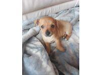 Jackchu puppies all boys