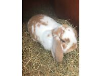 Continental x French lop large rabbit