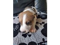 adorable pure Jack Russels puppies boy and girl for sale £250 each