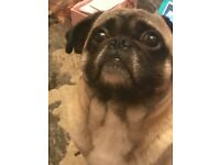 Male pug 3yrs old