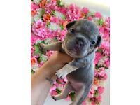 Stunning French bulldog pups