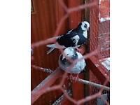 Birmingham Roller pigeon £30