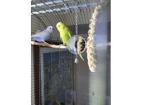 A pair of cheerful and happy budgies with cage