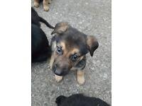 German shepherd / Black lab X pups