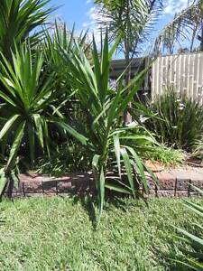 YUCCA OFF CUTS - LARGE SIZES Melton South Melton Area Preview