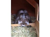 For sale 2 Rabbits and Hutch