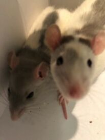 £25 each £50 as a pair - preferably sold together, fancy rats