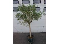 Olive tree (8ft tall)
