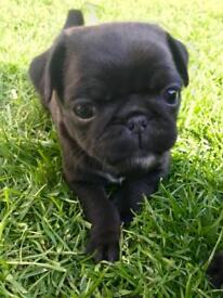 Beautiful black pedigree pug puppies