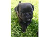 Beautiful black pedigree pug puppies