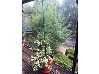 Plant for Balcony or Garden (Ivy)