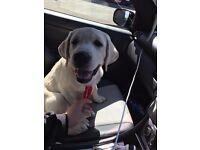 Kc golden Labrador for sale