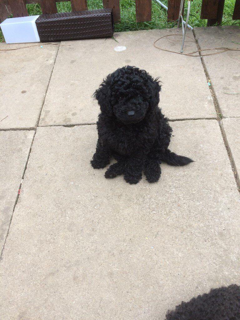 Adorable Black Toy Poodle Puppy