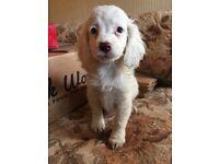 Sprocker Girl puppy