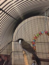 White eared Bulbul for Sale in London