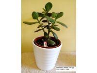 Jade Plant Money Tree in White Ceramic Vase