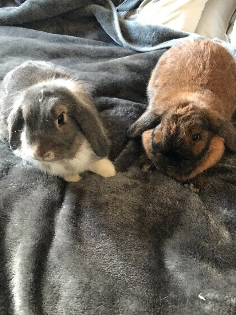 For adoption . 2 female bunnies