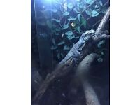 Australian frilled dragon, male approx 4yrs