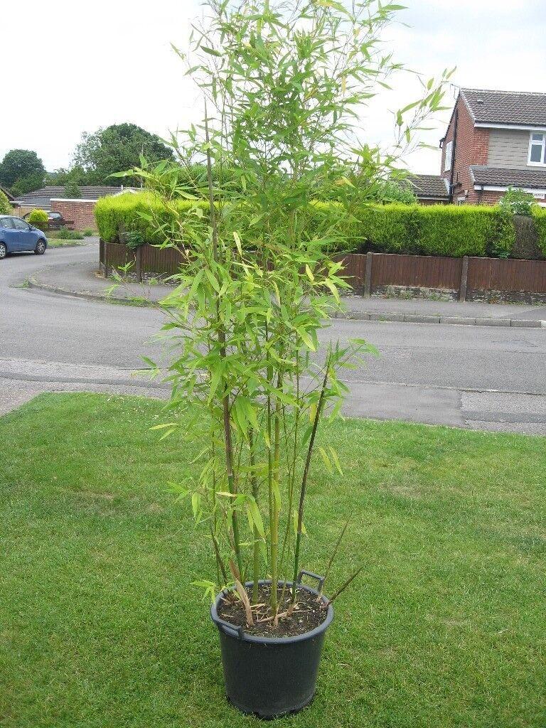 Phyllostachys aurea- bamboo plant. 7ft + tall in 25 litre pot- £30 ...