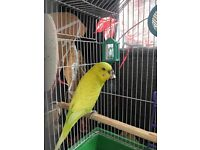 BEAUTIFUL BUDGIE FOR SALE! + EXTRAS!!