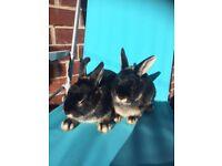 Silver Martin Rabbits and Hutch
