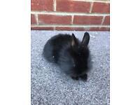 Baby rabbit lionhead x Netherland dwarf (boy)